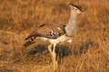 Kori bustard safary kenya a splendid female of ardeotis photographed during the sunset in Stock Photography