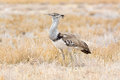 Kori bustard seen and shot on self drive safari tour through several natural parks at namibia africa Royalty Free Stock Photos