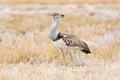 Kori bustard seen and shot on self drive safari tour through several natural parks at namibia africa Royalty Free Stock Photos