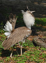 Kori Bustard Standing Tall Royalty Free Stock Photo