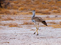 Kori bustard walking in savanna chobe national park botswana Royalty Free Stock Images