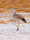 Kori bustard walking in savanna chobe national park botswana Stock Photo