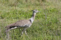 Kori Bustard Walking in the Savannah Royalty Free Stock Image