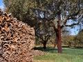 Korkenbäume in Southern Europe Lizenzfreies Stockbild