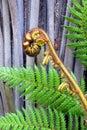Koru Tree Fern Frond & Trunk Symbol of New Zealand Royalty Free Stock Photo
