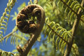 Koru - new leaf and life Royalty Free Stock Image