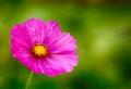Kosmeya. green background from a flower