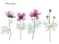 Kosmos flower, kosmeya hand drawn doodle ink sketch, colorful illustration, wild flower astra, floral design for