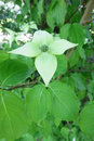 Kousa dogwood (Cornus kousa) Royalty Free Stock Photo