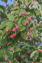 Kousa dogwood fruits Royalty Free Stock Photo