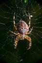 Kreuzspinne makro cross spider in a net marko photo Stock Photos