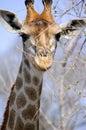 Kruger Park Giraffe Royalty Free Stock Photo
