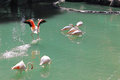 Kuala lumpur bird park a flock of flamingoes in malaysia Stock Photo