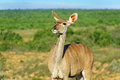Kudu antelope in addo national park animals of south africa Stock Image