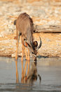Kudu antelope drinking tragelaphus strepsiceros water etosha national park namibia Royalty Free Stock Photo