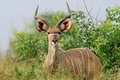 Kudu antelope, Kruger National Park, South Africa Royalty Free Stock Photo