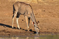 Kudu antelope tragelaphus strepsiceros drinking water pilanesberg national park south africa Stock Images