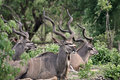 Kudu antelopes Royalty Free Stock Photos