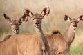 Kudu antelopes portrait of three tragelaphus strepsiceros south africa Stock Photos