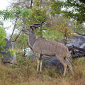Kudu Bull Royalty Free Stock Photography