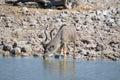Kudu bull drinking water at okaukeujo waterhole Royalty Free Stock Photos