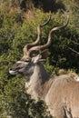 Kudu bull profile Royalty Free Stock Photos