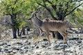 Kudu in etosha national park walking namibia Stock Images