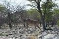 Kudu in etosha national park walking namibia Royalty Free Stock Photography