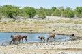 Kudu in etosha national park at a watering hole namibia Royalty Free Stock Images