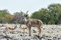 Kudu in etosha national park at a watering hole namibia Royalty Free Stock Image