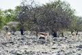 Kudu in etosha national park at a watering hole namibia Stock Photo