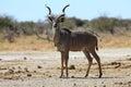 Kudu on the lookout in nxai pan np botswana Royalty Free Stock Photo