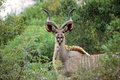 Kudu tragelaphus strepsiceros in the african bush Royalty Free Stock Photos