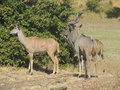 Kudus Royalty Free Stock Photos