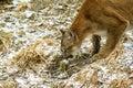 Kuguar na grasującym Fotografia Royalty Free