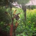 Kukurydzany badyl Zdjęcie Royalty Free
