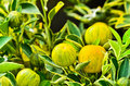 Kumquat Royalty Free Stock Images