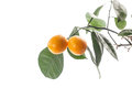 Kumquat sweet citrus fruits closeup on white Royalty Free Stock Images