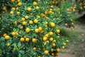 Kumquat tree. Together with Peach blossom tree, Kumquat is one of 2 must have trees in Vietnamese Lunar New Year holiday in north. Royalty Free Stock Photo