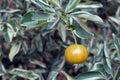 Kumquats or cumquats, fruit originating in Asian Royalty Free Stock Photo