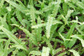 Kupukupu (Nephrolepis cordifolia) Tuber Sword Fern Royalty Free Stock Photo