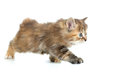 Kuril bobtail cat or kitten stealing isolated Royalty Free Stock Images