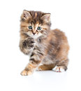 Kuril bobtail tortoiseshell coat coloring cat with paw up on white Royalty Free Stock Photos