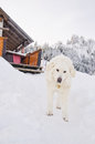 Kuvasz walking in the snow Stock Photography
