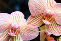 Kwiat orchidea Obraz Royalty Free