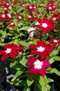 Kwiat w ogródzie Obrazy Stock