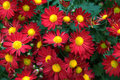 Kwiatu mum Obraz Stock
