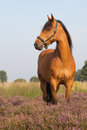 Kwpn horse on heather in the dutch heathland Royalty Free Stock Photography