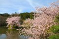 Kyoto japan cherry blossoms sakura at famous ryoanji temple garden Royalty Free Stock Photography