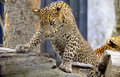 Léopard du Sri Lanka Photo stock